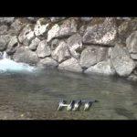 松阪市飯高町櫛田川のアマゴ(2015年4月11日放送)